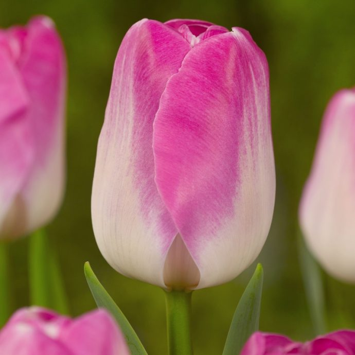 Tulipa Triumph 'Innuendo'