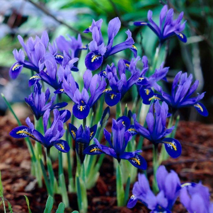 Iris Miniature 'Harmony'
