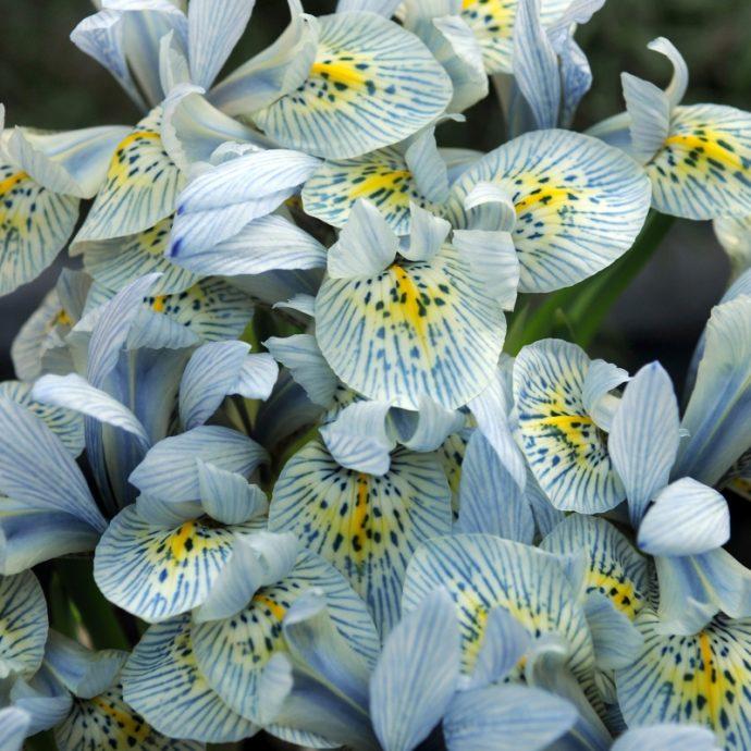 Iris Miniature 'Katharine Hodgekin'