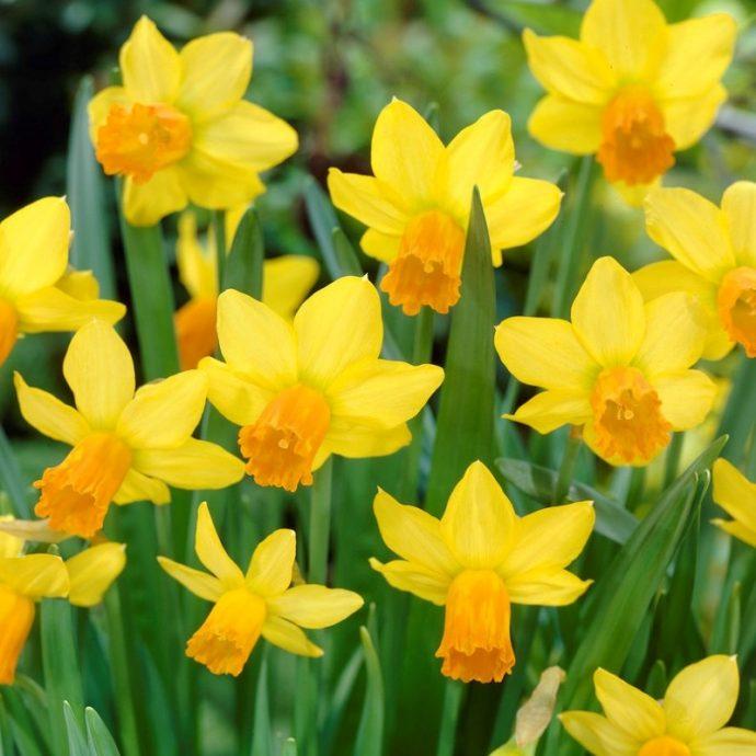 Narcissus Miniature 'Jetfire'