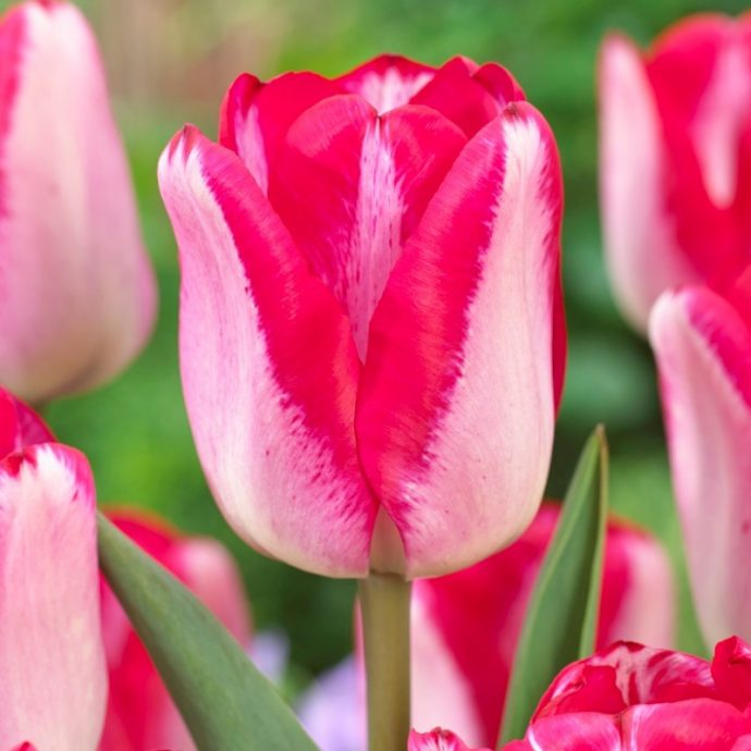 Tulipa Triumph 'Just Kissed'