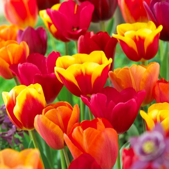 Tulipa Triumph 'Key West Mixture'