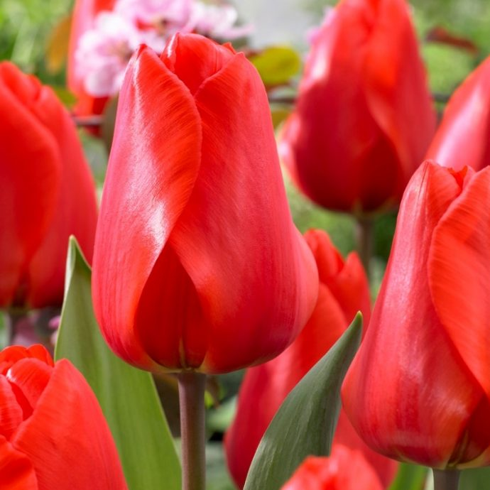 Tulipa Darwin Hybrid 'Lalibela'