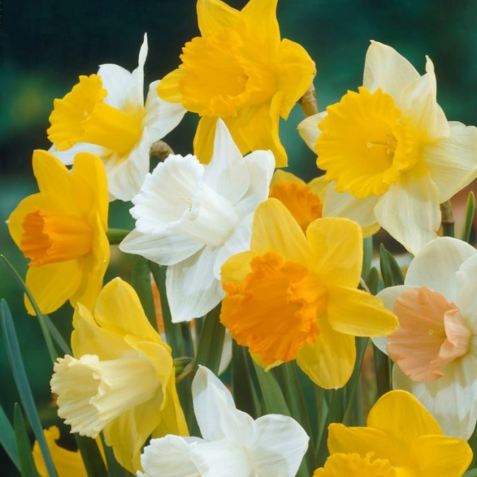 Narcissus Long-lasting Mixture 'Large Flowering Mixture'
