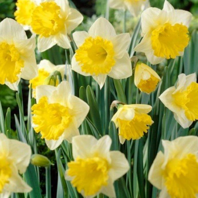 Narcissus Trumpet 'Las Vegas'