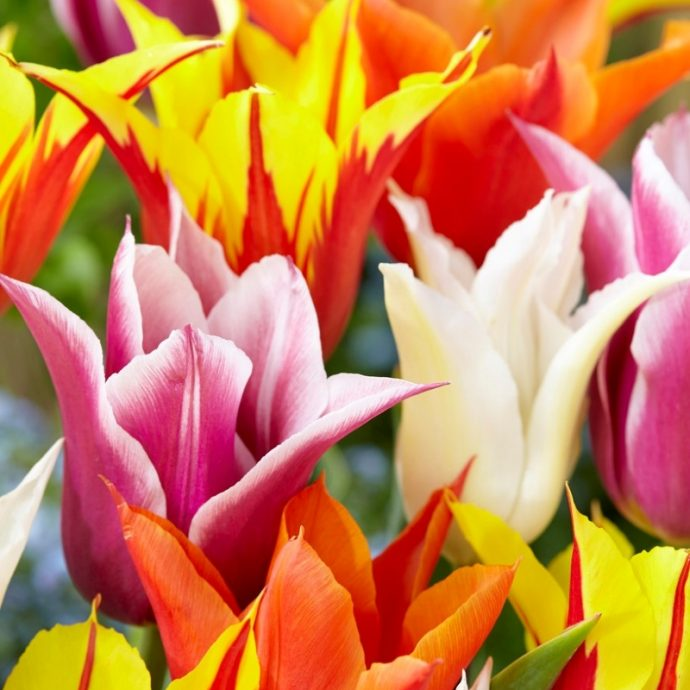 Tulipa Lily Flowering 'Lily Flowering Mixture'