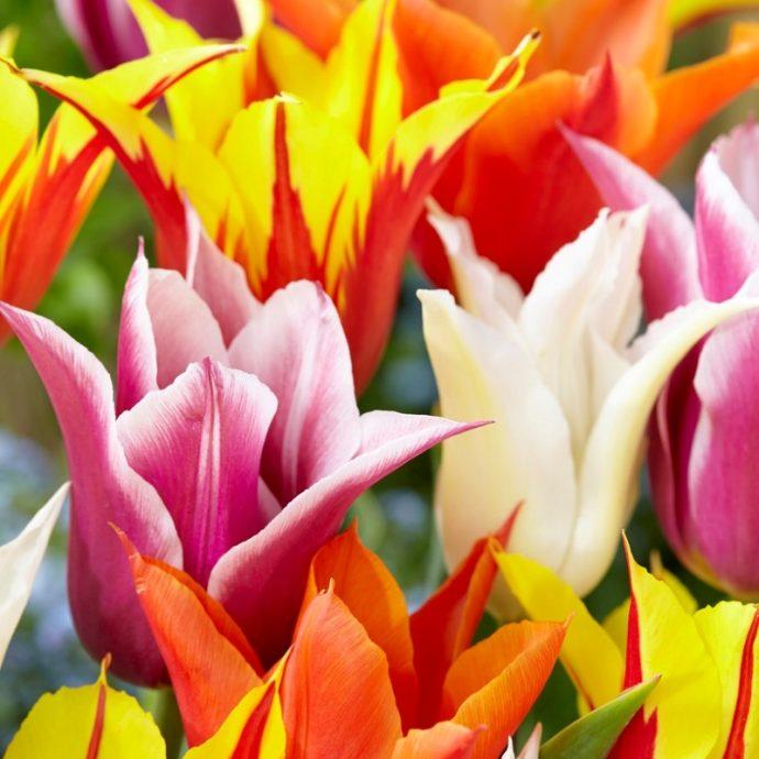 Tulipa Lily Flowering 'Lily Flowering Mixture'