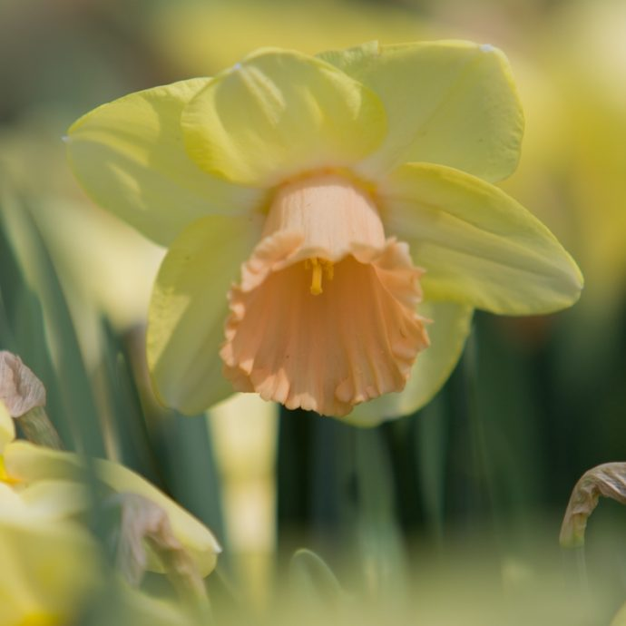 Narcissus Trumpet 'Lorikeet'