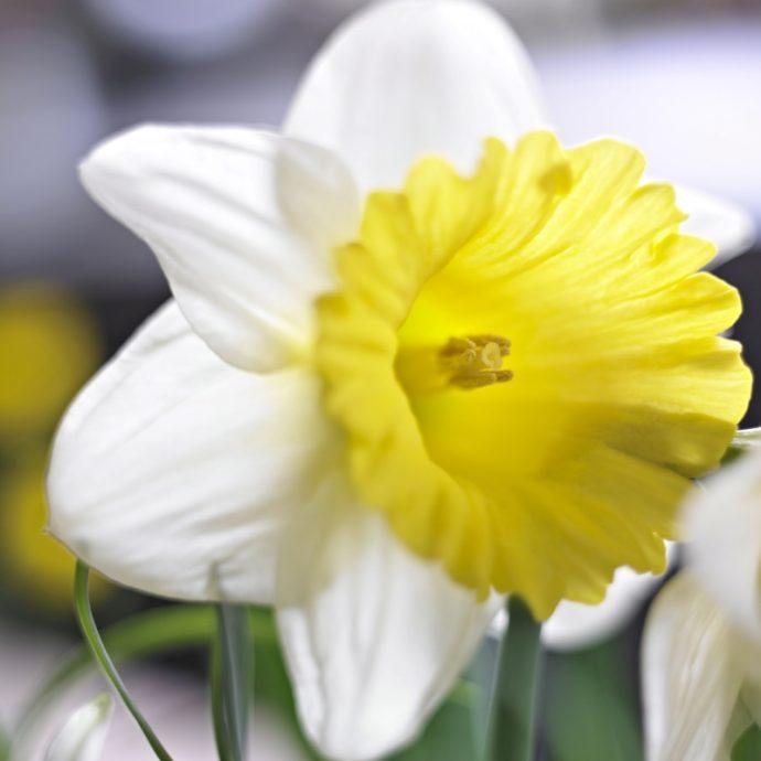 Narcissus Trumpet 'Magnet'