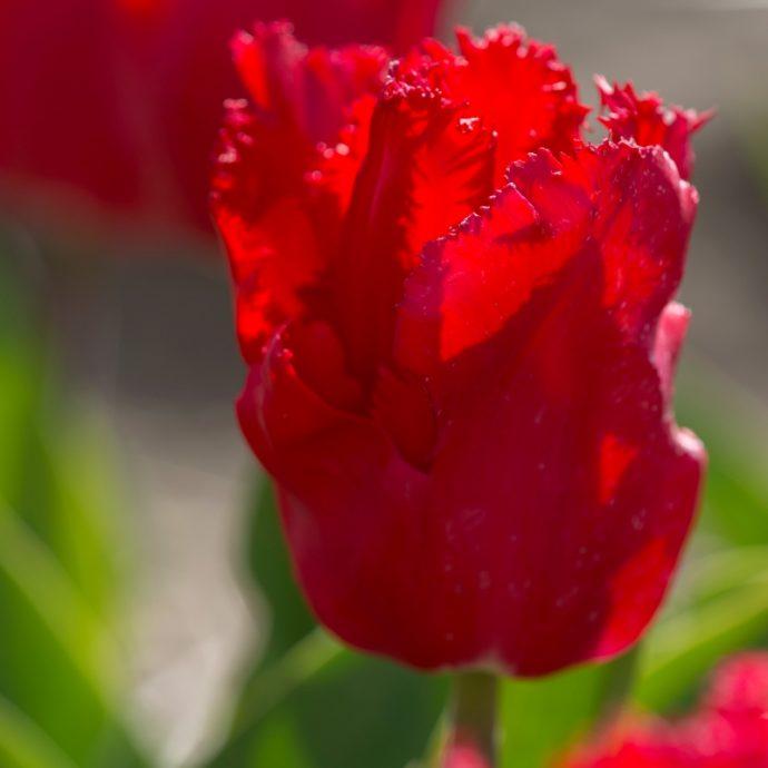 Tulipa Fringed 'Makarska'