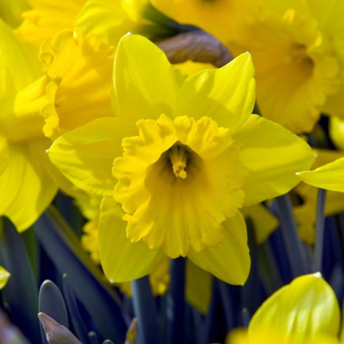 Narcissus Trumpet 'Marieke'