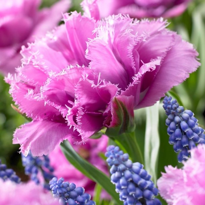 Tulipa Fringed 'Match Point'