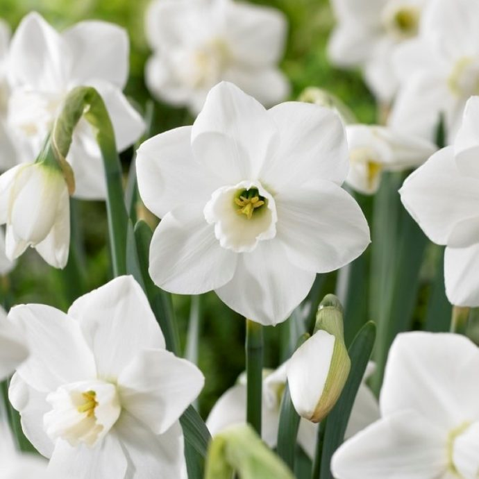 Narcissus Small Cupped 'Misty Glen'
