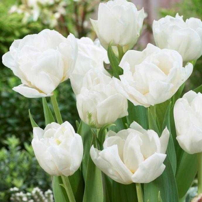 Tulipa Double Early 'Mondial'