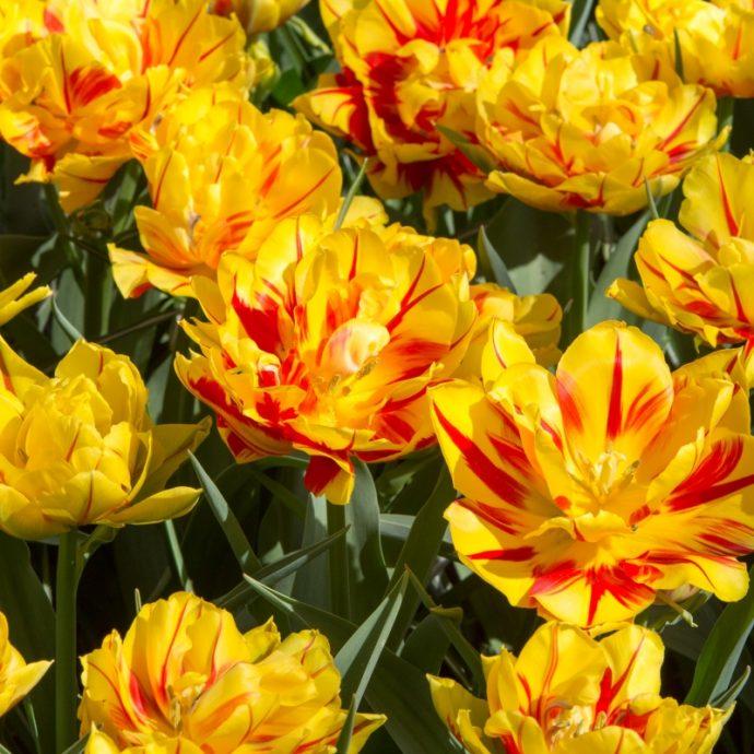 Tulipa Double Early 'Monsella'
