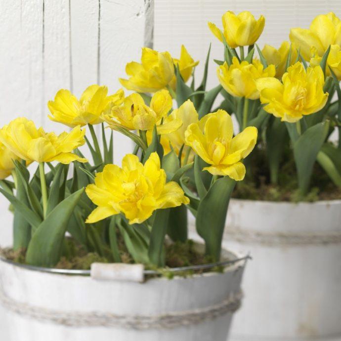 Tulipa Double Early 'Monte Carlo'