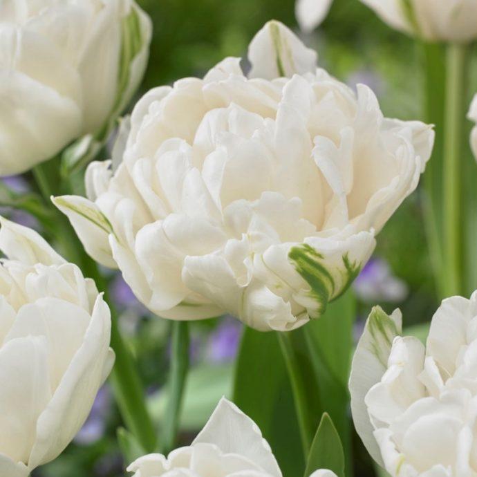 Tulipa Double Late 'Mount Tacoma'