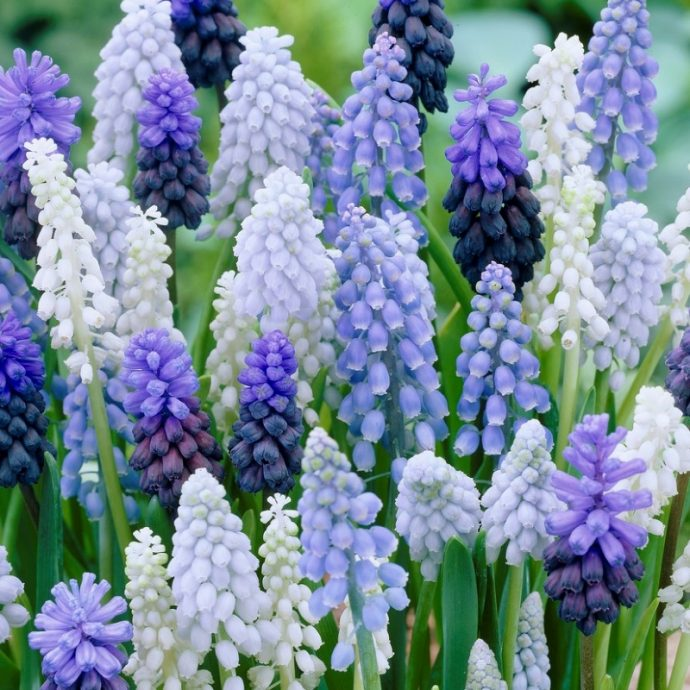 Muscari Armeniacum 'Mixture'