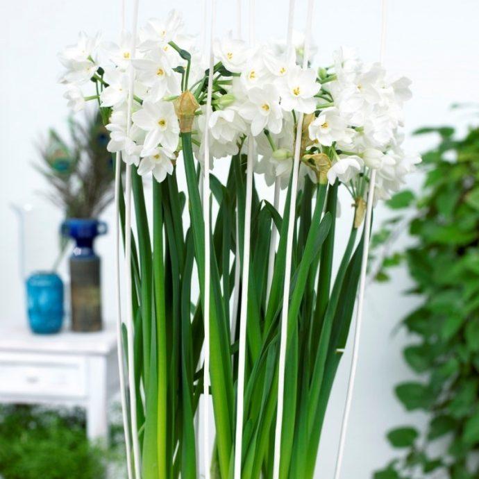 Narcissus Tazetta 'Nir'
