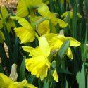 Narcissus Trumpet 'Rijnveld's Early Sensation'