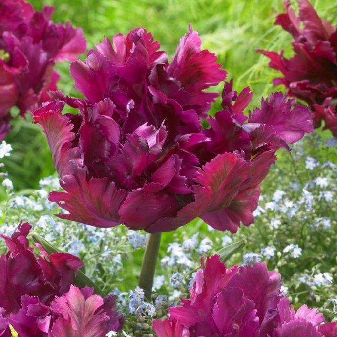 Tulipa Parrot 'Negrita Parrot'