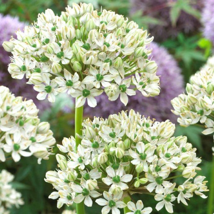 Allium Tall 'Nigrum'