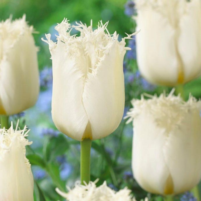 Tulipa Fringed 'Northpole'