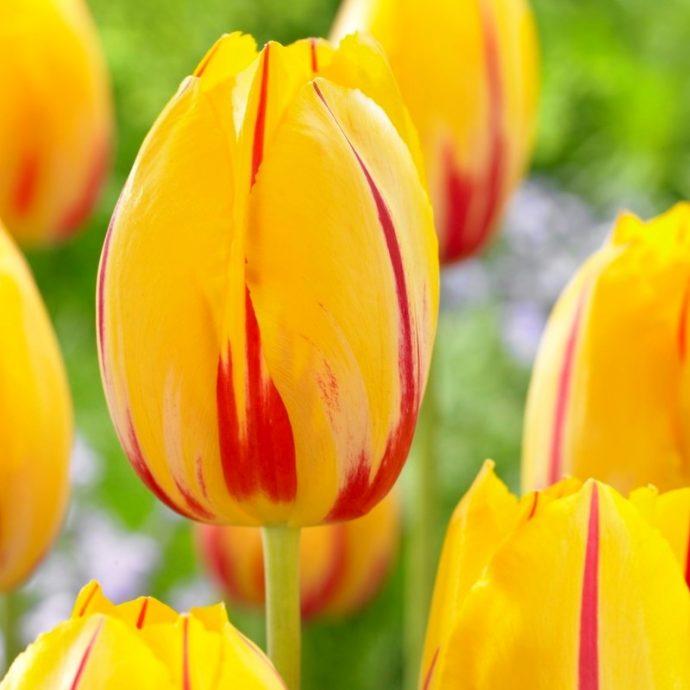 Tulipa Darwin Hybrid 'Olympic Flame'