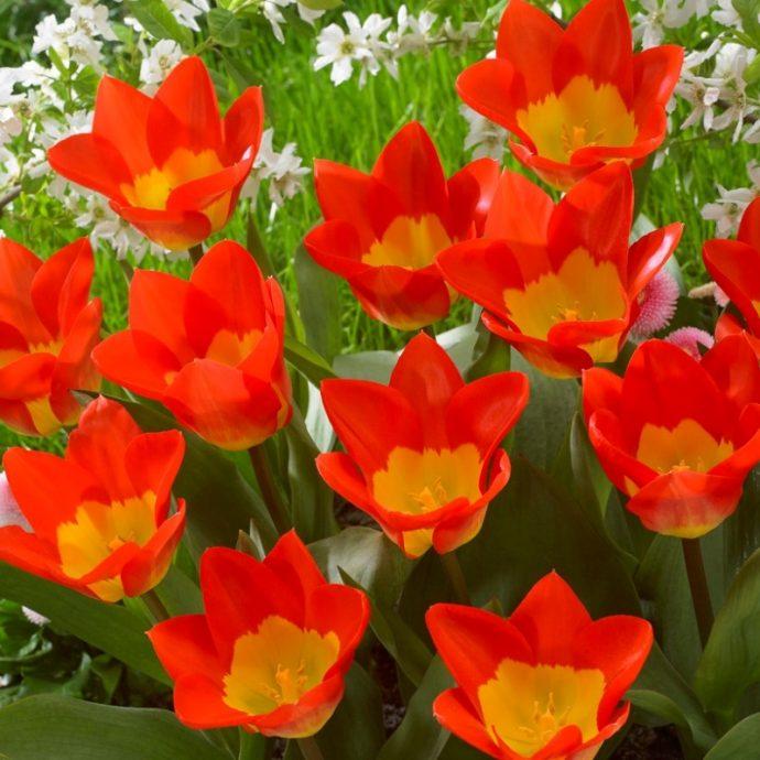 Tulipa Emperor 'Oracle'