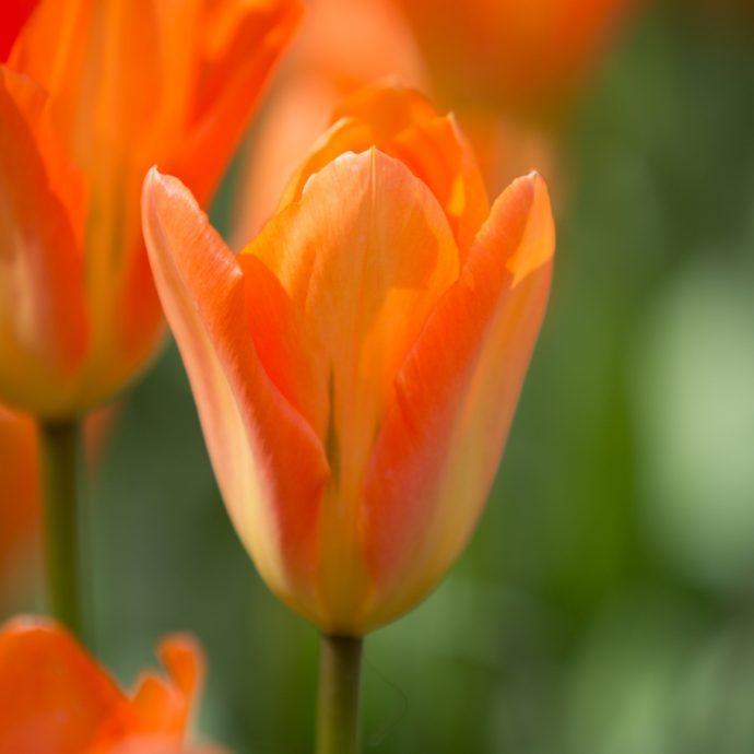 Tulipa Emperor 'Orange Emperor'