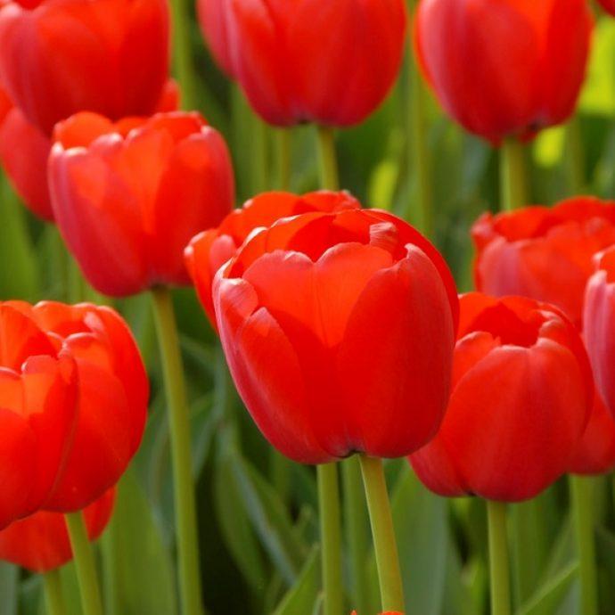 Tulipa Darwin Hybrid 'Orange Pride'
