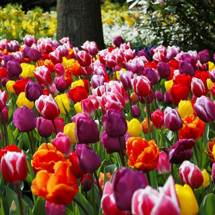 Tulipa Triumph 'Paradise Mixture'
