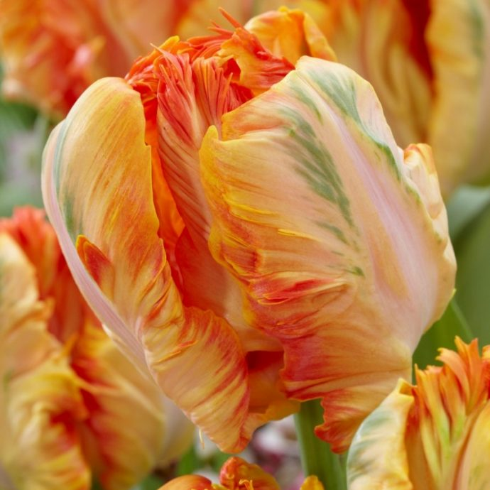 Tulipa Parrot 'Parrot King'