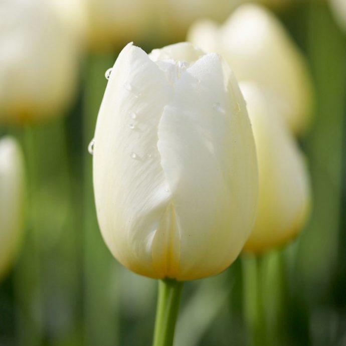 Tulipa Single Late 'Pays Bas'