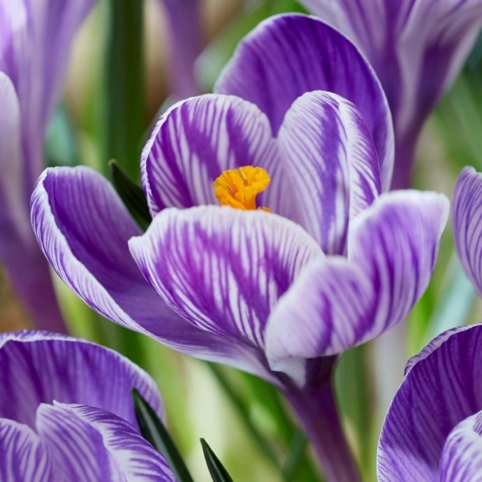 Crocus Large Flowering 'Pickwick'