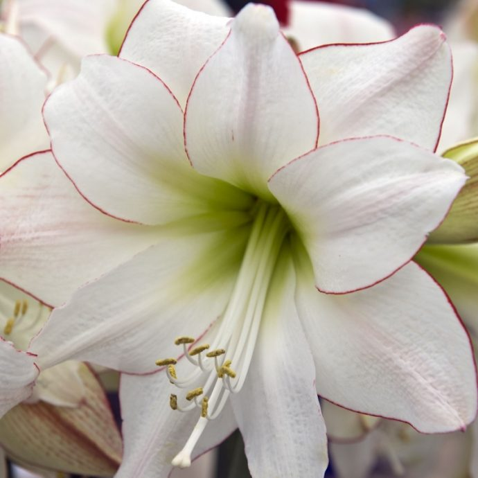 Amaryllis Dutch 'Picotee'