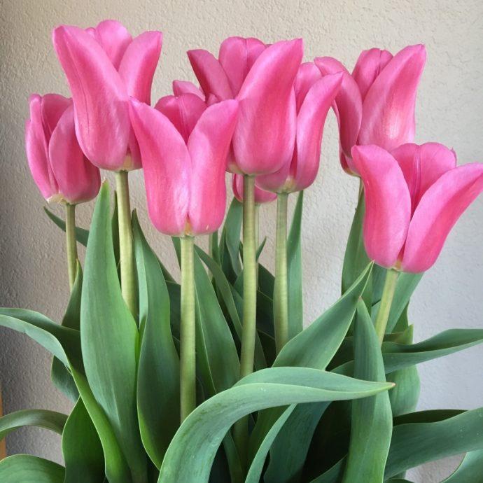 Tulipa Triumph 'Pink Marlene'