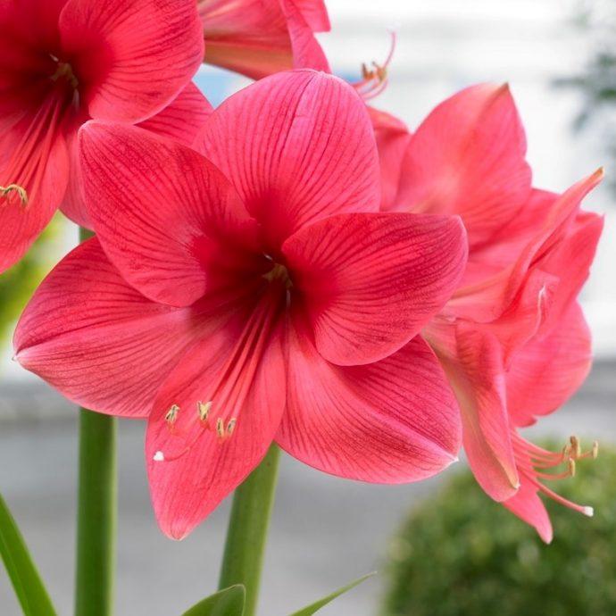 Amaryllis Dutch 'Pink Surprise'