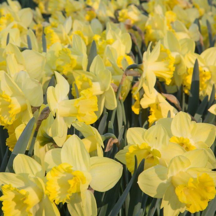 Narcissus Trumpet 'Pistachio'
