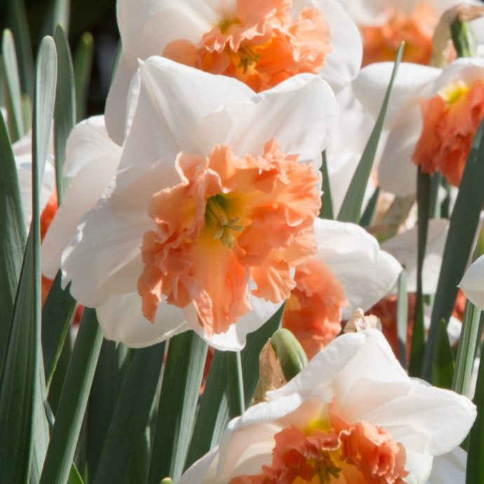 Narcissus Large Cupped 'Precocious'