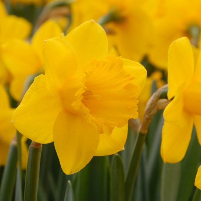 Narcissus Trumpet 'Primeur'