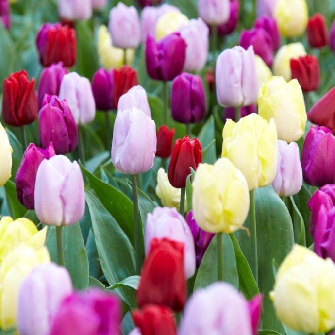 Tulipa Single Early 'Prince Mixture'