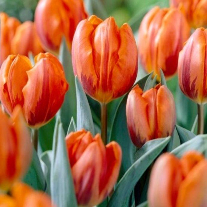 Tulipa Single Early 'Prinses Irene'