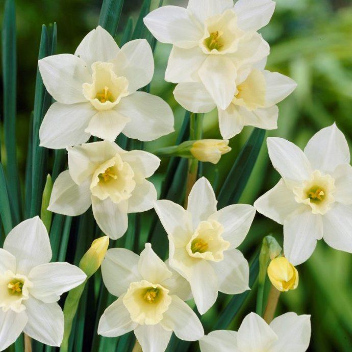 Narcissus Miniature 'Pueblo'