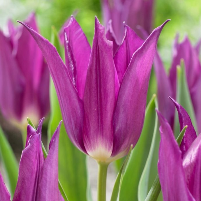 Tulipa Lily Flowering 'Purple Dream'