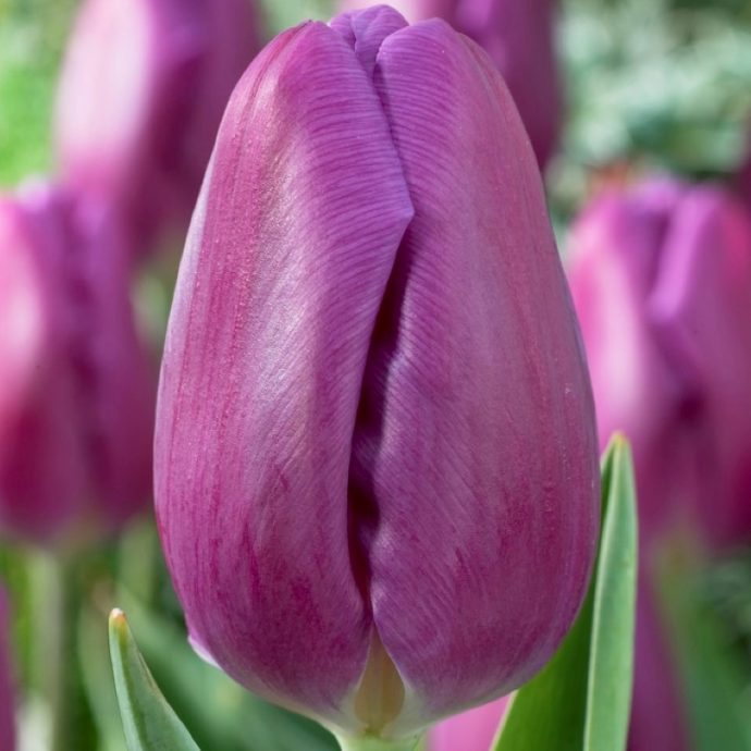 Tulipa Triumph 'Purple Flag'