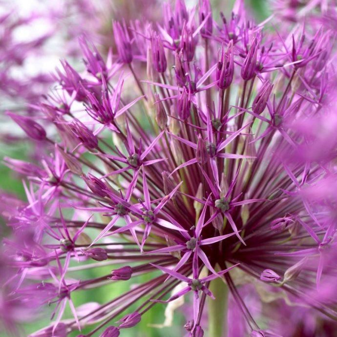 Allium Tall 'Purple Rain'