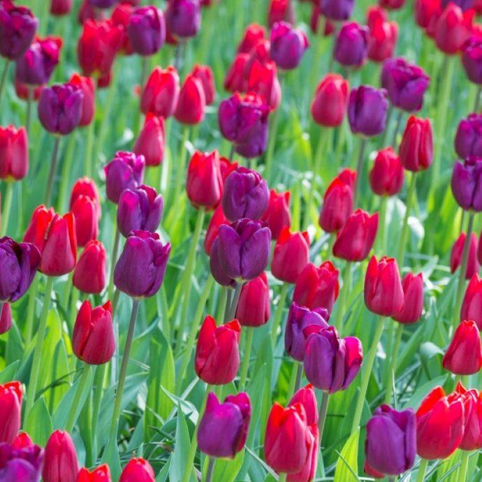 Tulipa Single Late 'Purple Teddy Mixture'