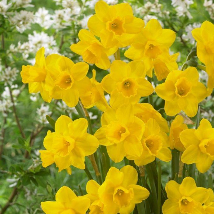 Narcissus Miniature 'Quail'