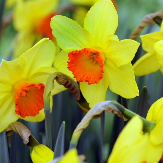 Narcissus Small Cupped 'Red Devon'